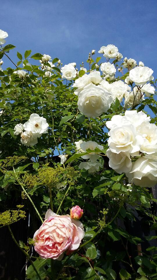 rosen1 2