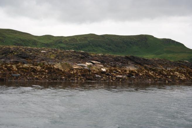 Seehunde bei Oban 2 2