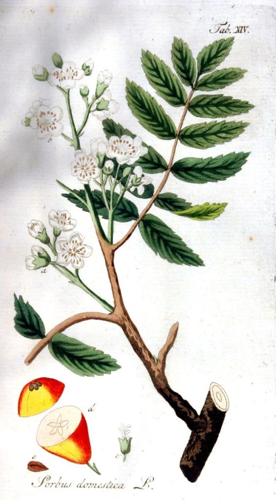 Sorbus domestica_0