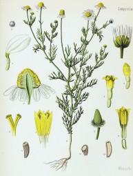 Matricaria_recutita_-_Köhler–s_Medizinal-Pflanzen-091