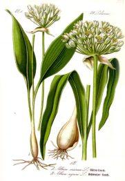 Illustration_Allium_ursinum1-400x581