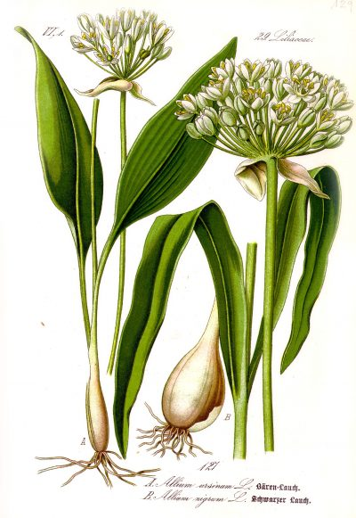 Illustration_Allium_ursinum1-400x581
