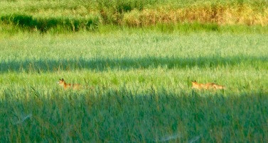 Jungfüchse auf Rügen im Schilf