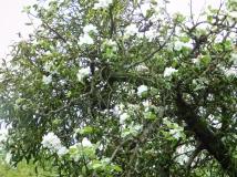 Misteln auf altem Apfelbaum