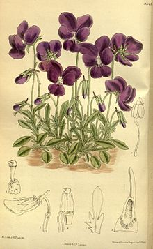Viola_gracilis