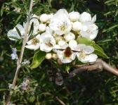wie ein kleinst Kolibri steht dieses den Fliegen zugeordnete Insekt vor den Blüten