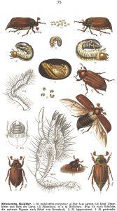 alte Abbildung aus Fauna germanica Quelle www.biolib.de