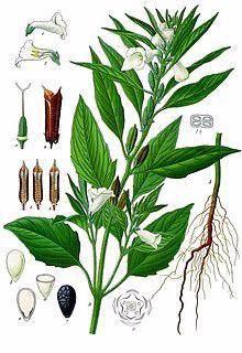 Sesam indicum Quelle Wikipedia