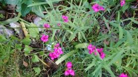 Kleine Nelken am Beetrand