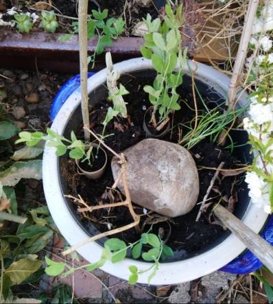 Engl. Wicken, ein paar Samen könnte ich vom letzten Jahr sammeln. Übrigens ist so ein großer Stein nicht nur dekorativ, sondern auch eine Wärmequelle. Ab und an WG Schnecken drunter schauen.