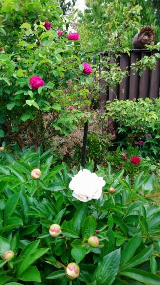 meine erste weiße Pfingsrose blüht und die Rose du resht ist seid gestern am blühen